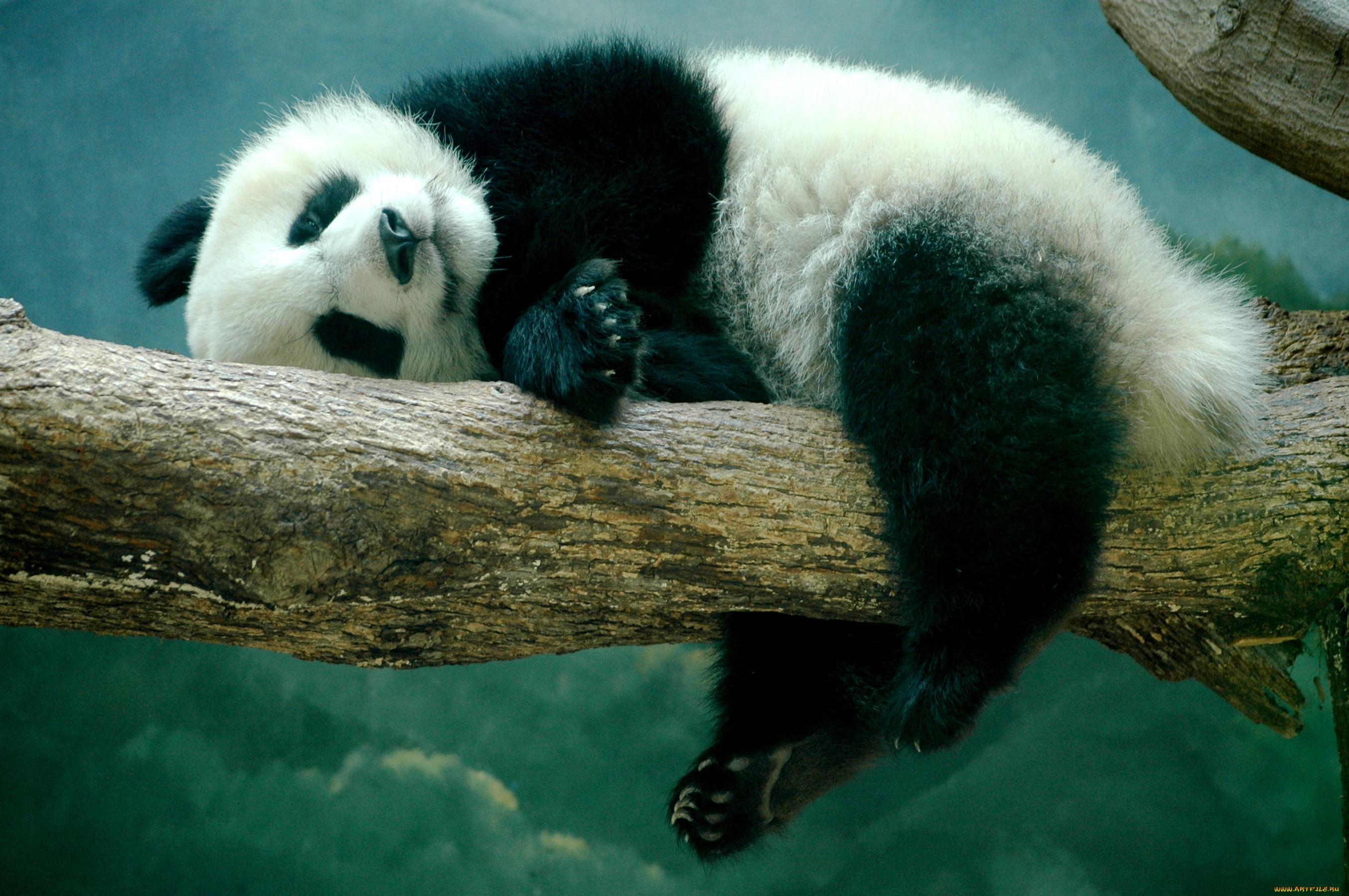 фото с пандами милые конструкций оснастки